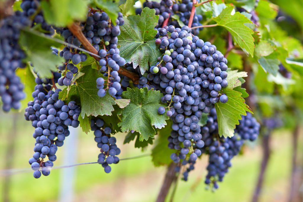 Где лучше выращивать виноград в краснодарском крае