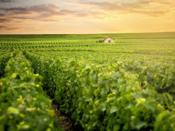 Виноградарство распространено на юге России
