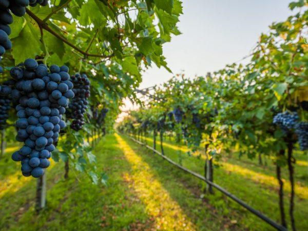 В Италии выращивают сорта для виноделия