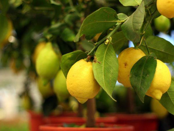Выращивание лимона Вулкан