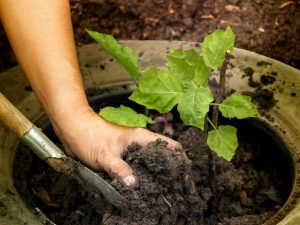 Особенности высадки баклажанов в открытый грунт