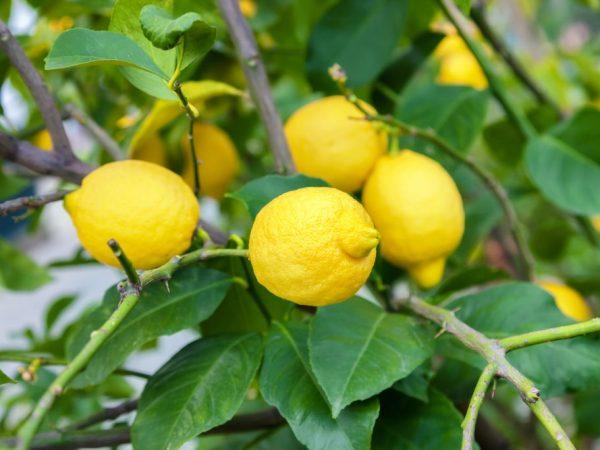Выращивание лимона Юбилейный