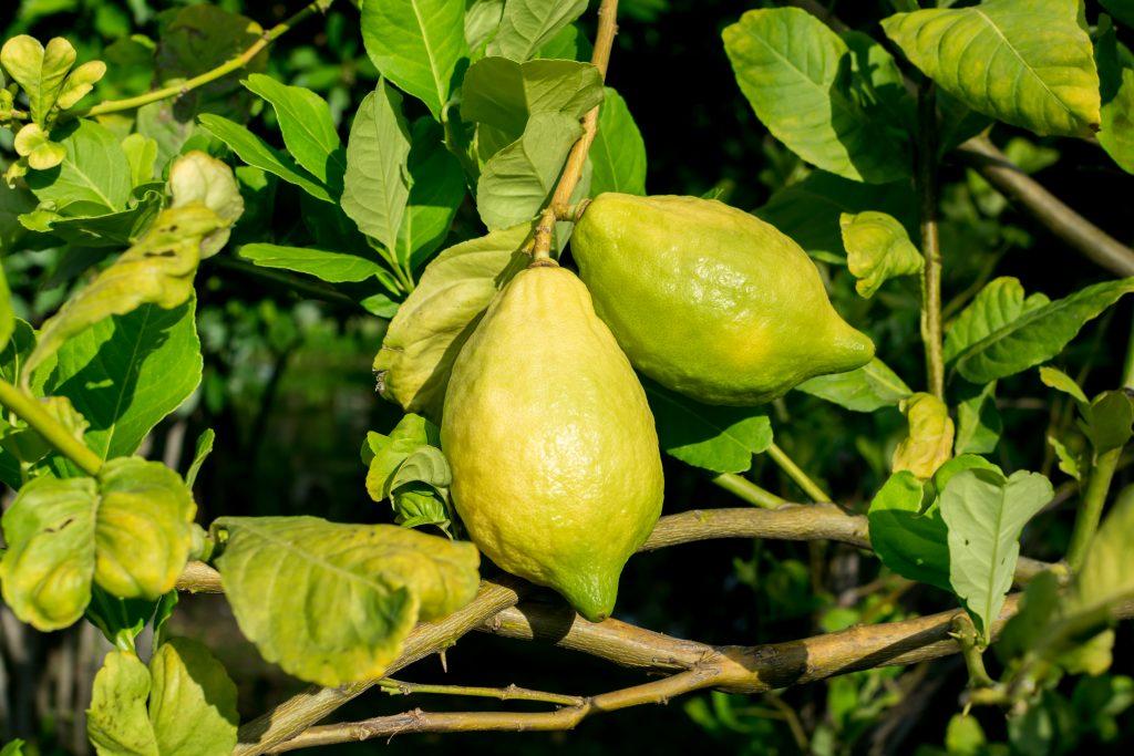 Почему желтеют листья у лимонов. Что делать?