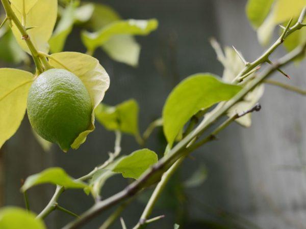 Ошибки в уходе могут привести к засыханию растения
