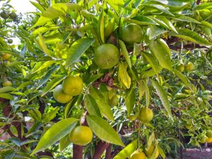 Желтеют листья у мандарина