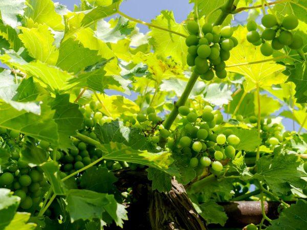 Удобрение улучшает урожайность