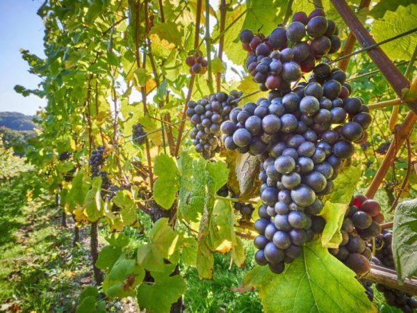 Описание сорта винограда Августа