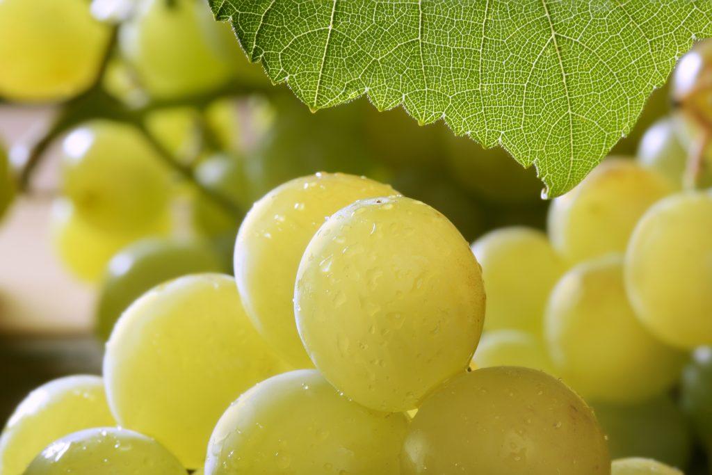 Виноград благовест описание сорта