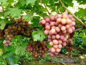 Выращивание винограда Богема