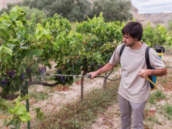 Правильная подкормка винограда
