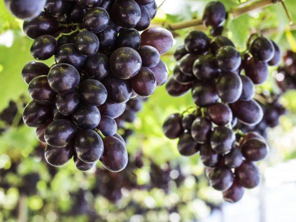 Есть много сортов чёрного винограда