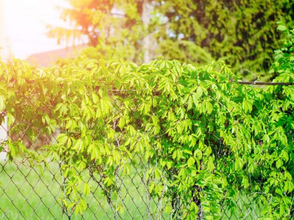 Выращивание дикого винограда на заборе
