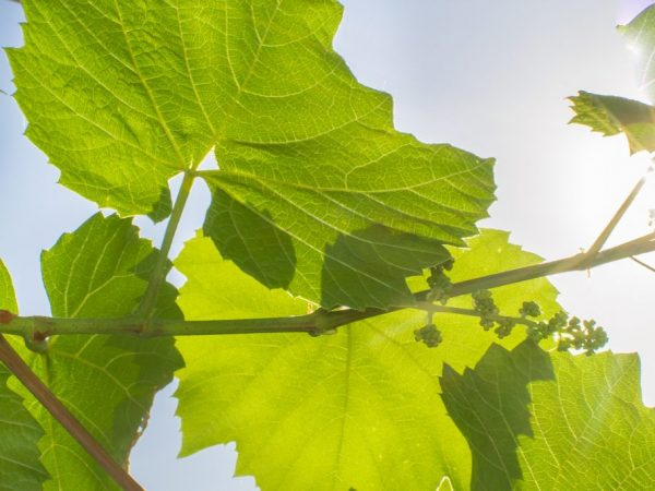Летом нужно поливать виноград каждый день