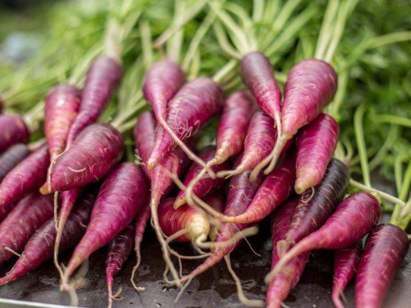 Фиолетовая морковь является двухлетним травянистым растением