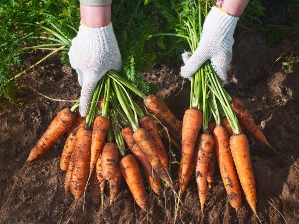 Морковь содержит большое количество полезных элементов