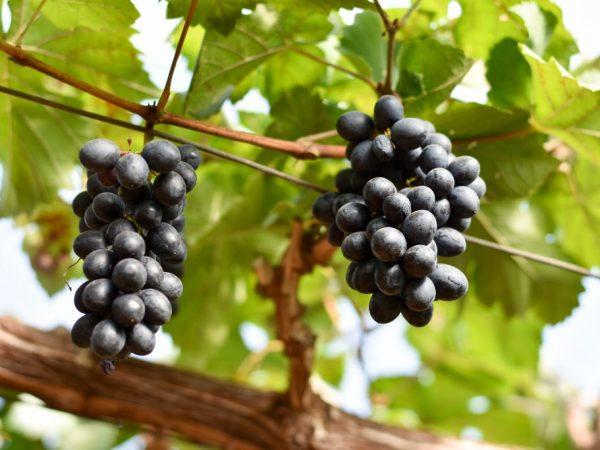 Виноград сорта Гала