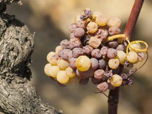 Виды грибка на винограде и их лечение