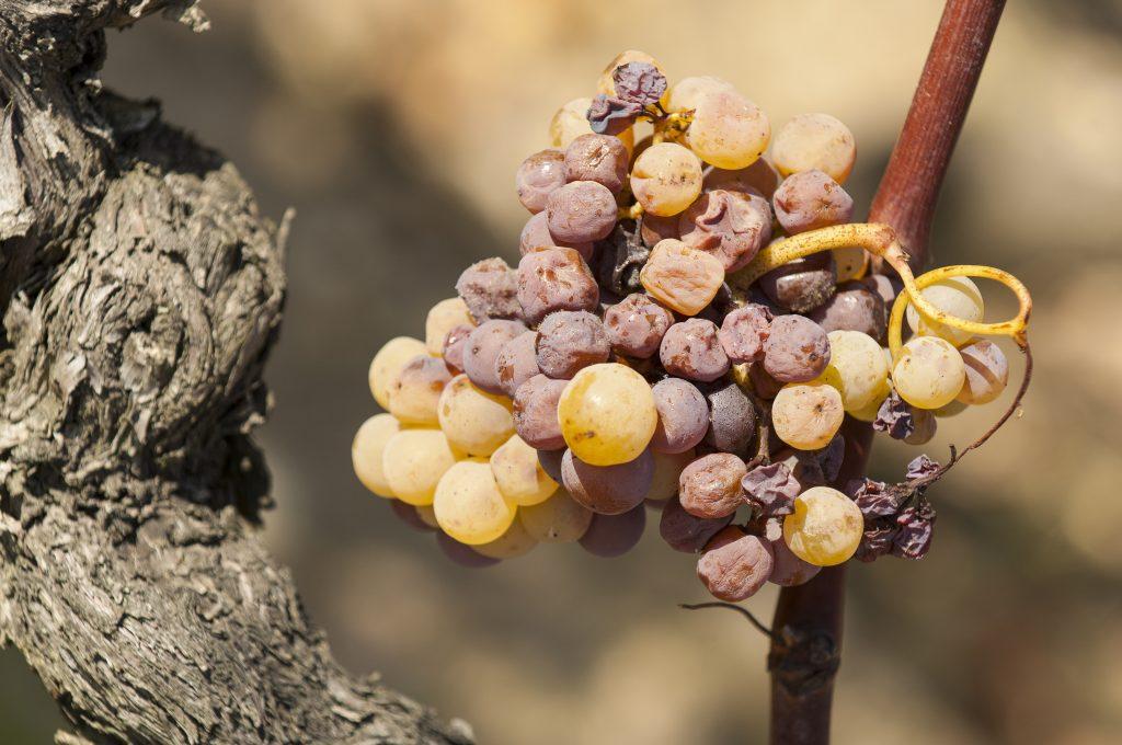 Средства обработки винограда: препараты от болезней и вредителей