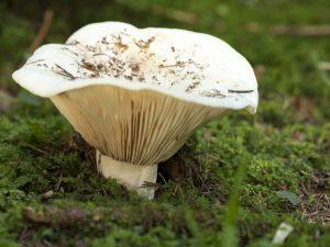 Описание гриба груздь перечный