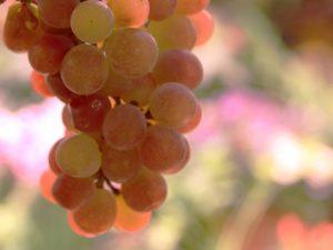 Выращивание винограда Гурман