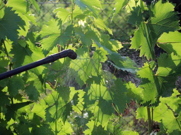ХОМ и виноград