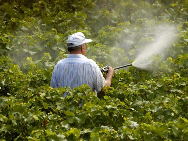 Обработку растения производят в период вегетации