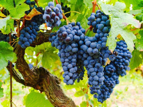 Черный виноград Изабелла