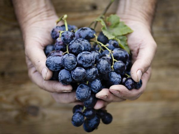 Виноград положительно влияет на организм
