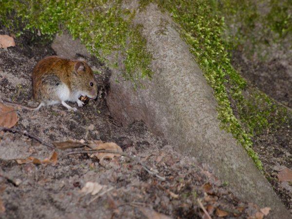 Мыши грызут виноград