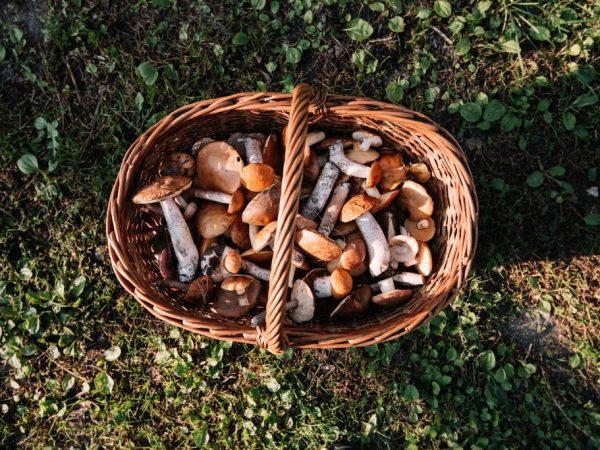 Какие грибы растут в июне