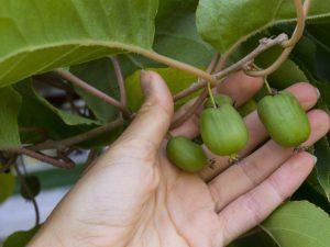 Выращивание Дальневосточного кишмиша