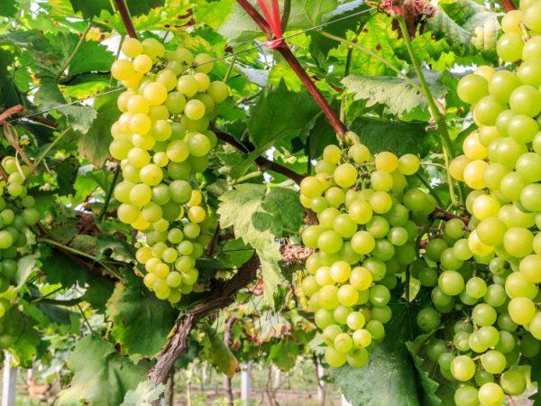 Описание зеленого винограда Кишмиш