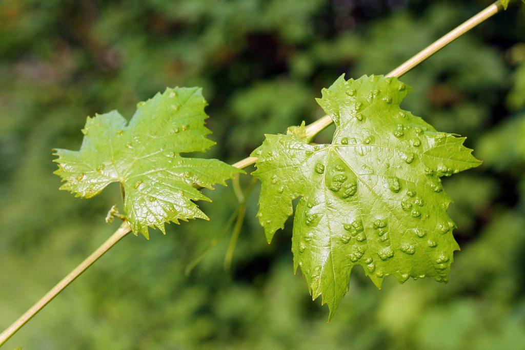 Войлочный клещ на винограде борьба чем опасен для вредитель