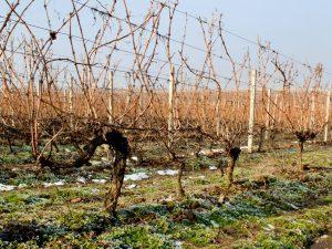 Правильное открывание винограда после зимы