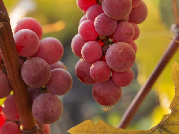 Красный виноград хорош для виноделия