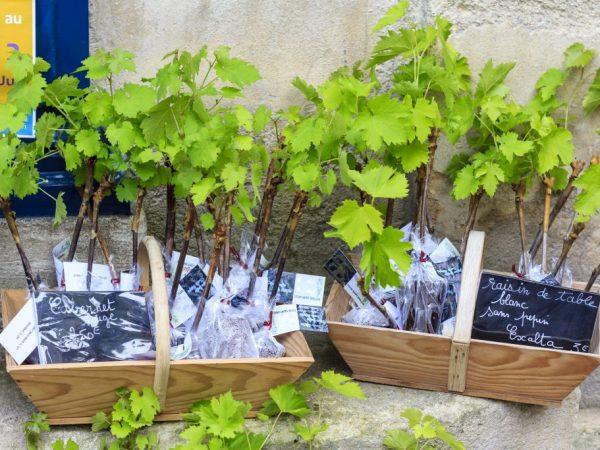 Сажать виноград лучше всего весной
