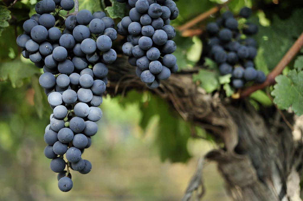 Виноград Ливадийский черный: описание сорта, фото, отзывы