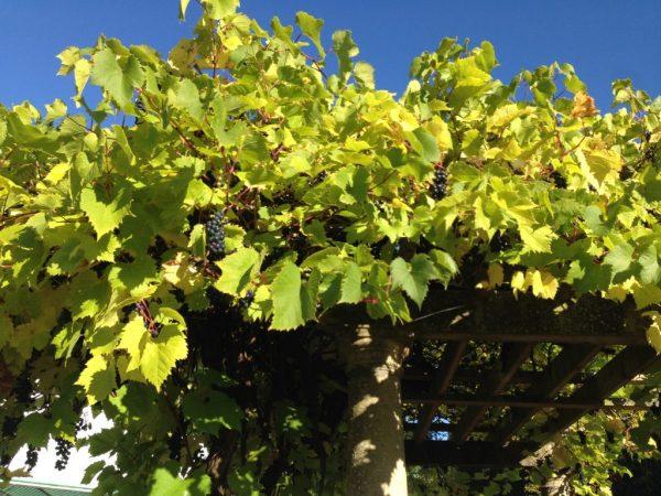 Из-за заболеваний растение теряет листья и плоды