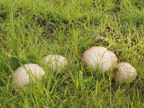 Гриб рядовка майская имеет кремово-белый цвет