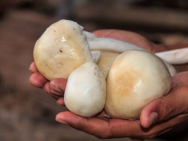 Существуют некоторые противопоказания к применению гриба