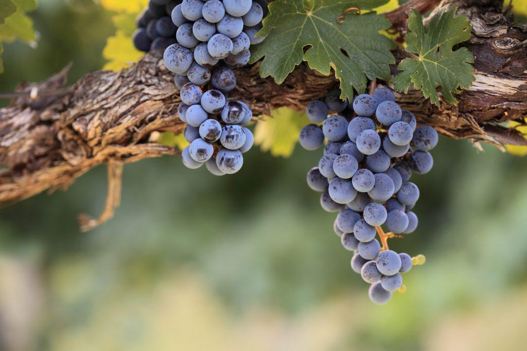 Виноград мерло: описание сорта