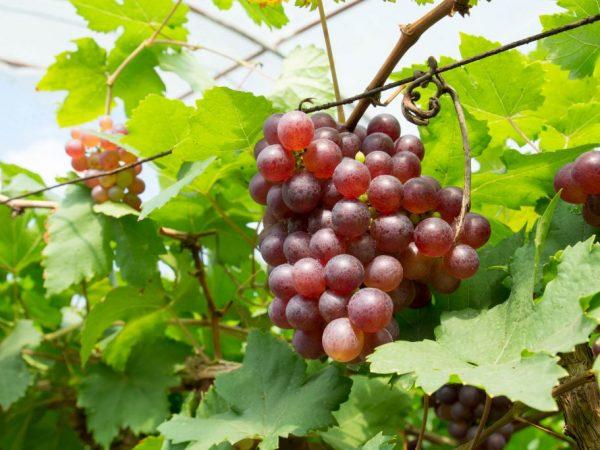 Описание винограда Минский розовый