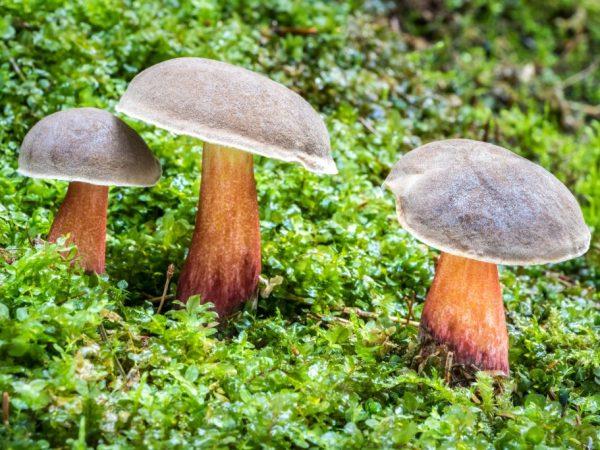 Синеет ли гриб Моховик