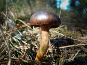 Описание гриба мокруха пурпуровая