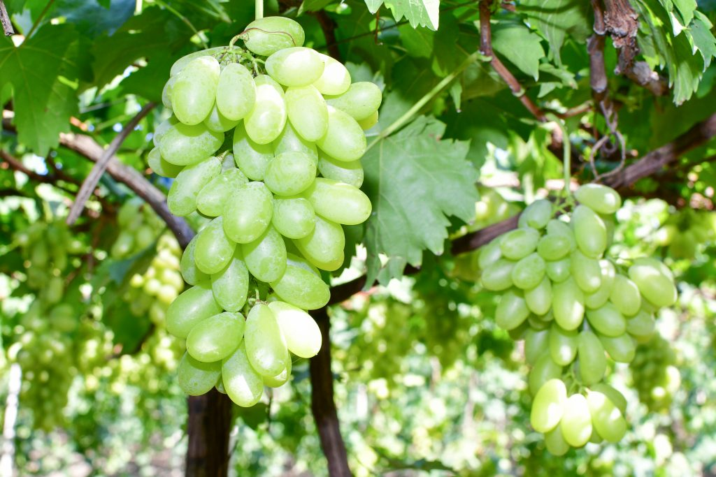 Морозоустойчивые сорта винограда в Украине: обзор лучших для выращивания