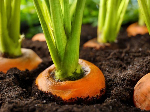Морковь помещают в погреб через 14 дней после сбора