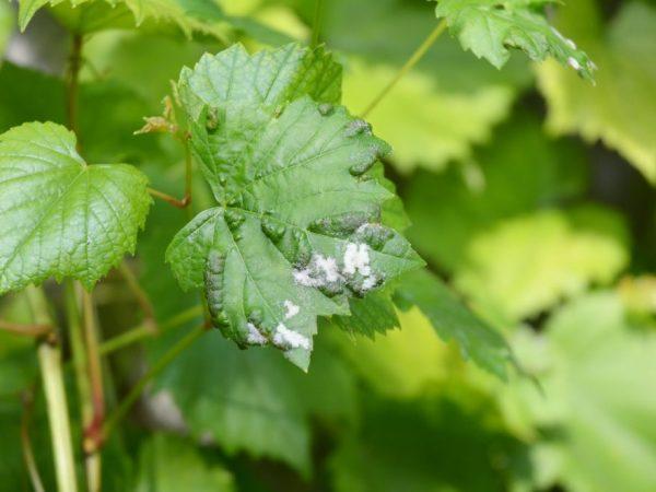 Борьба с мучнистой росой на винограде