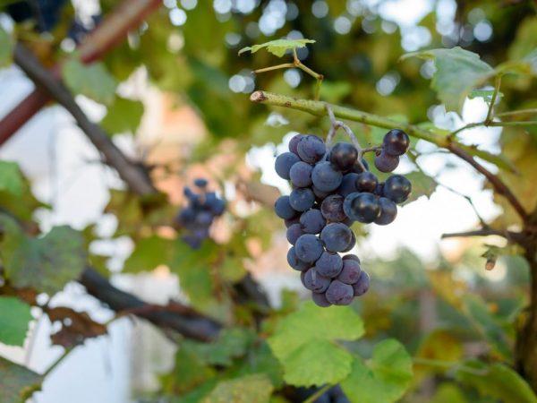 Выращивание винограда Неретинский