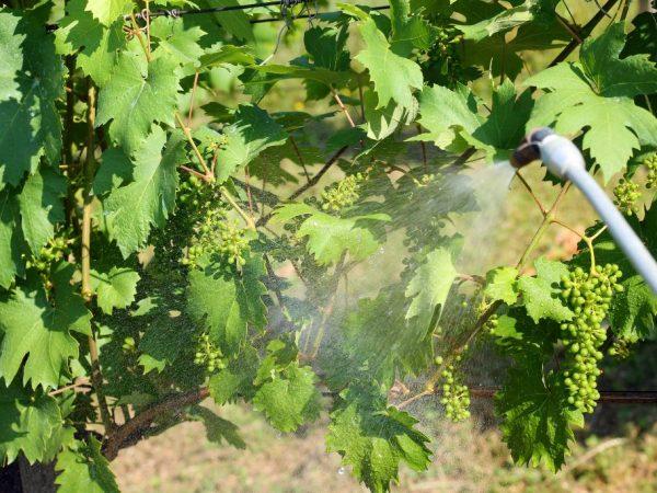 Применение Нитрофена для винограда
