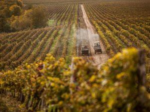 Обработка винограда перед зимой